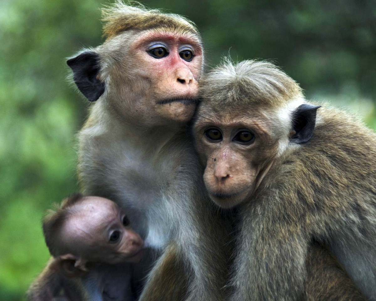 images of monkeys family
