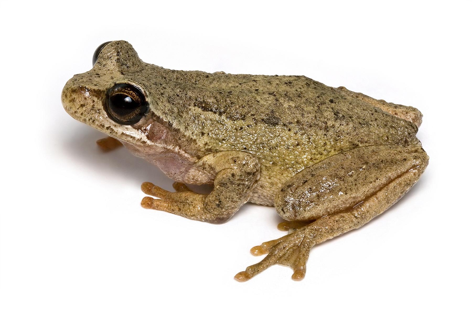 amphibians-brown