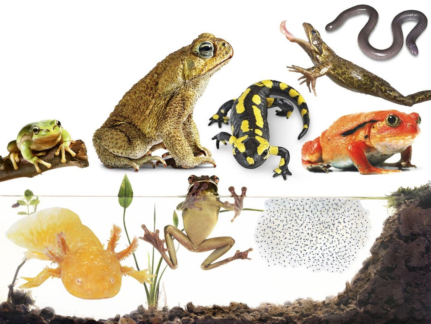 amphibians-free